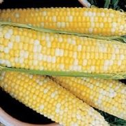 Sweetcorn Luscious F1 - 25 seeds